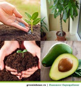От косточки до урожая(авокадо)