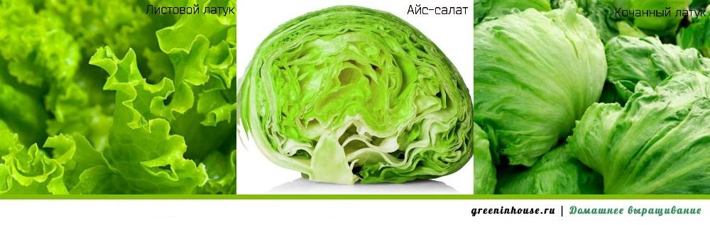 Виды зеленого салата
