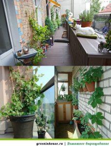Выращивание винограда на балконе