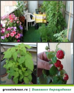 Выращивание малины на балконе