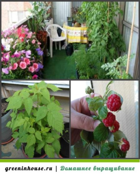 Как вырастить малину из семян в домашних условиях