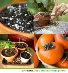 Выращивание хурмы дома