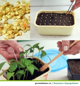 Процесс выращивания рассады перца