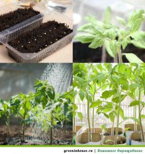 Выращивание рассады помидор 2