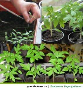 Выращивание рассады помидор, уход