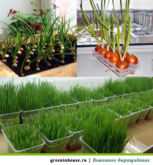 Выращивание зелени летом на балконе 44
