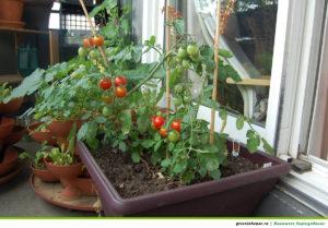 Рост и развитие томатов