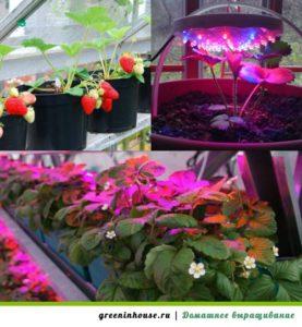 Условия для выращивания клубники