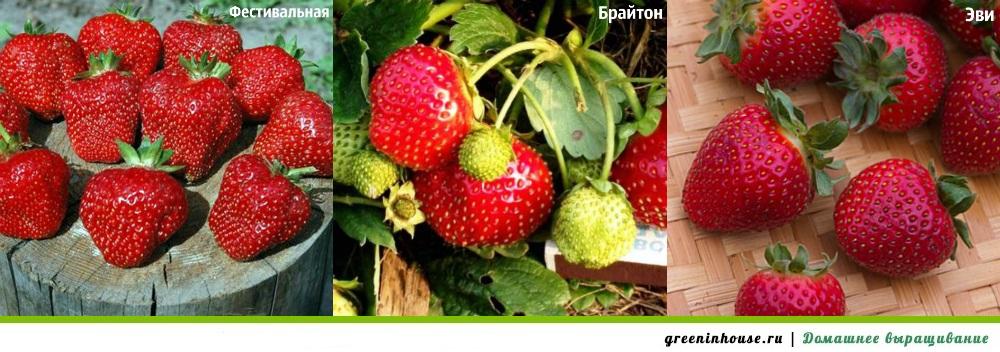 Сорта клубники для выращивания дома