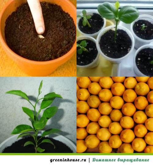 Выращивание и уход за лимонами в домашних условиях 27