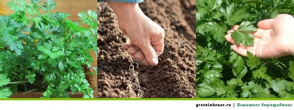 Выращивание петрушки в домашних условиях