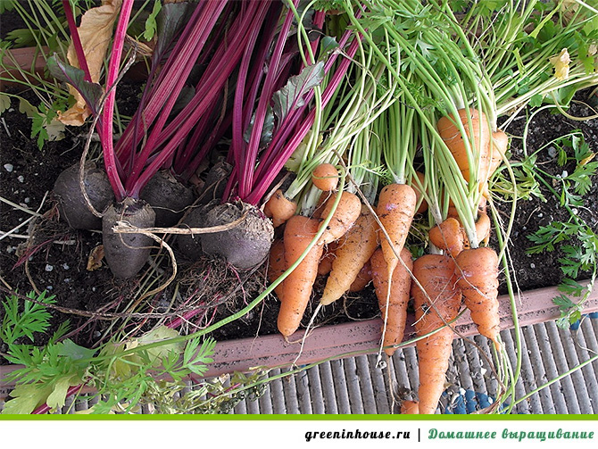 Овощи на балконе: выращивание и уход.