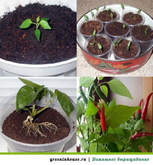 Как вырастить перец на рассаду в домашних условиях