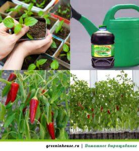Выращивание горького перца уход