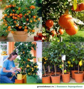 цитрусовый сад дома