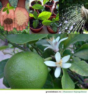 Выращивание цитрусовых, удобрение