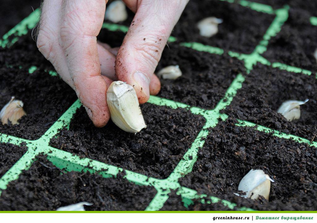 Правильное выращивание чеснока 24