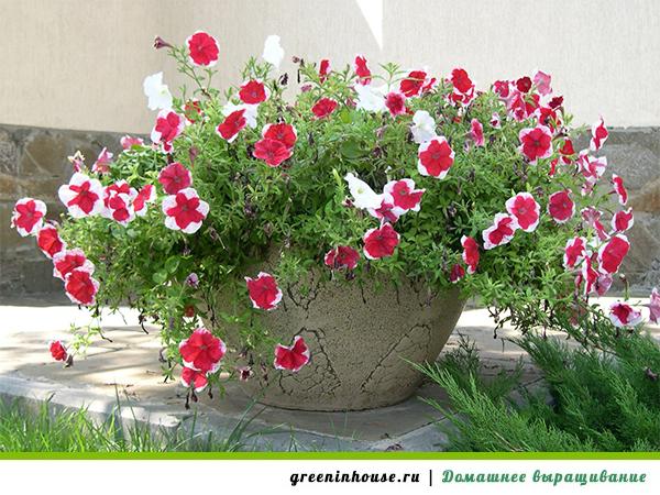 Выращивание петунии для посадки в грунт