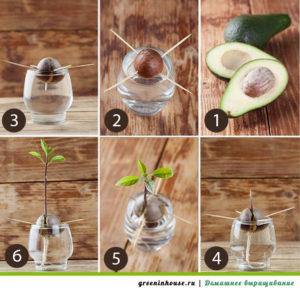 инструкция выращивания авокадо