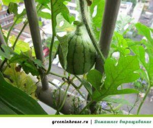 Место для выращивания арбуза