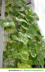 Огурцы растут на балконе