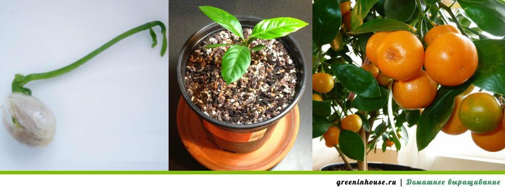 Процесс выращивания мандарина