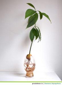 Рост и развите авокадо