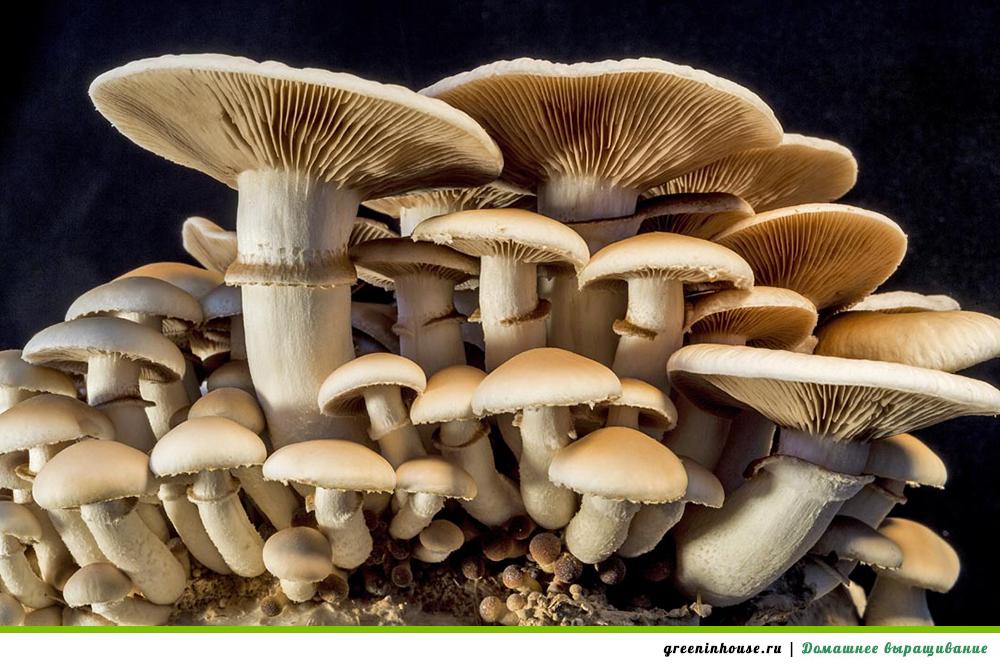 Технология выращивания грибов в домашних условиях