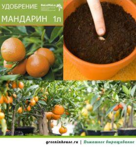 Удобрения мандарина