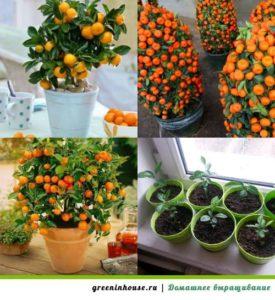 емкость для выращивания мандарина