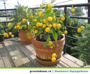 мандарин на балконе