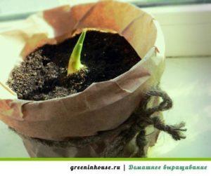 росток имбиря