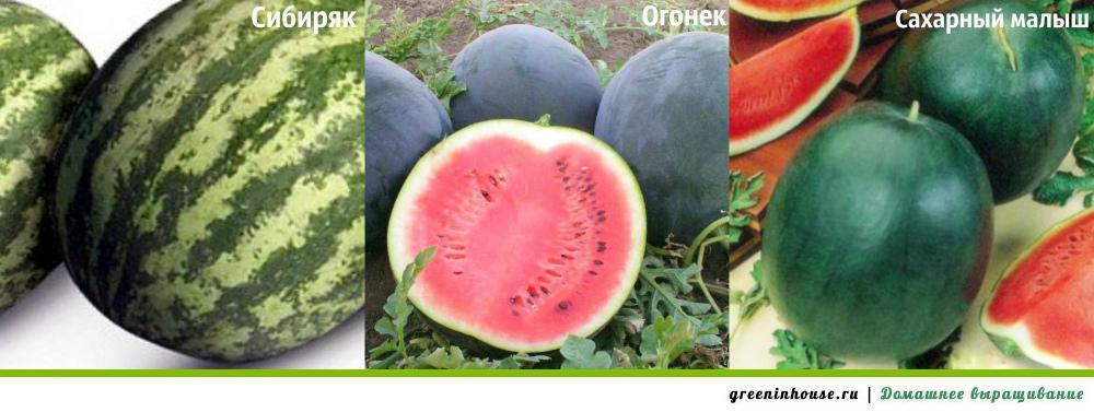 Выращивание арбузов на семена