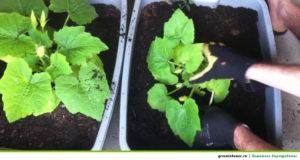 Грунт для выращивания огурцов