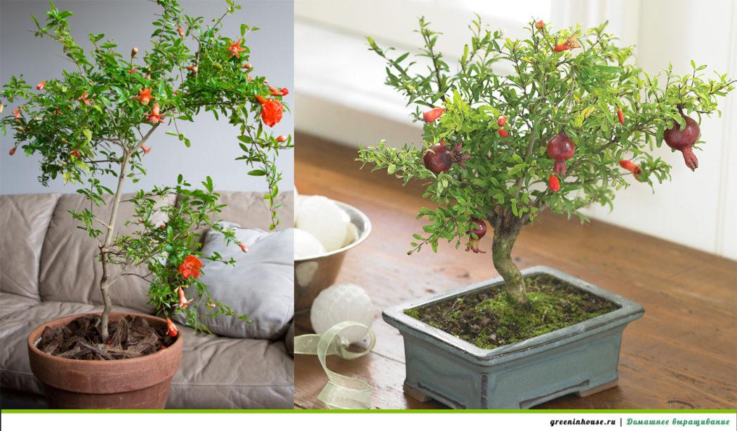 Дерево бонсай в домашних условиях из семян 22