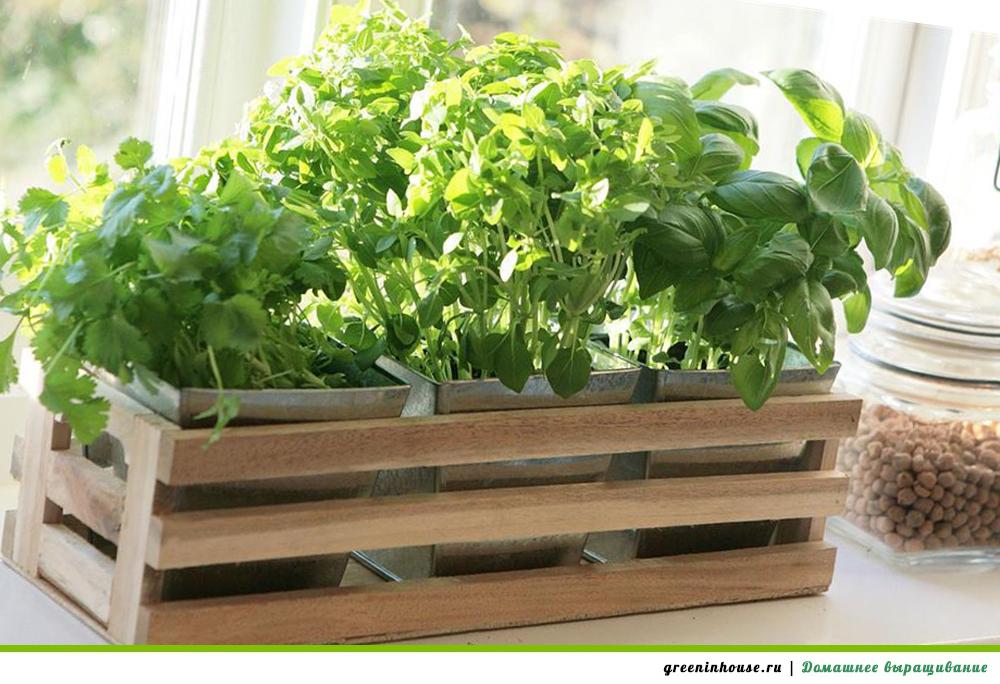 Выращивание зелени в домашних 671