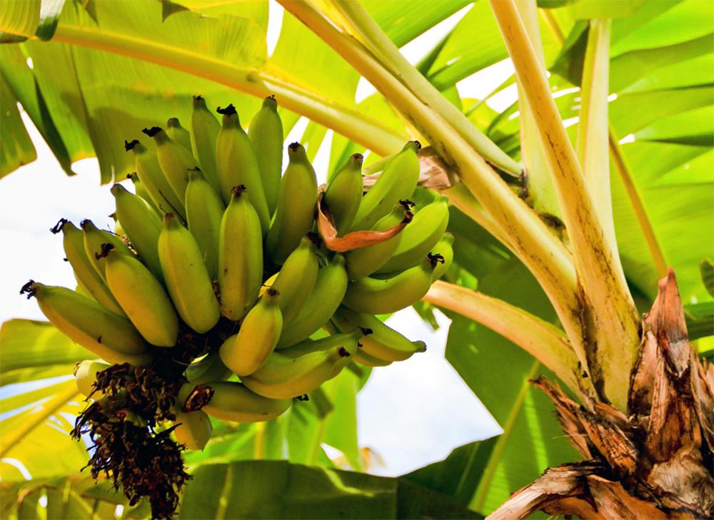 Выращивание бананов в домашних условиях