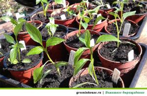 Как посадить перец на рассаду