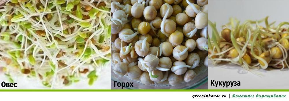 Как выращивать пшеницу в домашних?