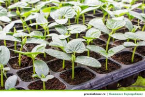 Как вырастить рассаду огурцов на окне
