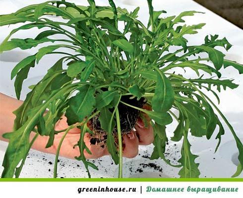 Как в домашних условиях выращивать руколу