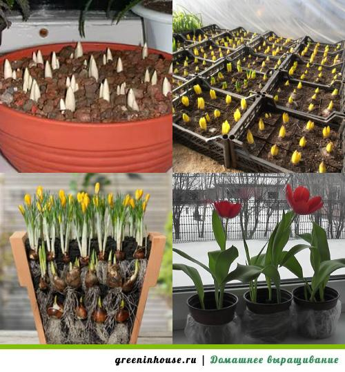 Как выращивать тюльпан в домашних условиях 90