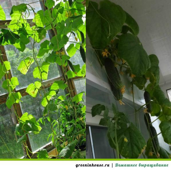 Огурцы на балконе: выращивание пошагово.