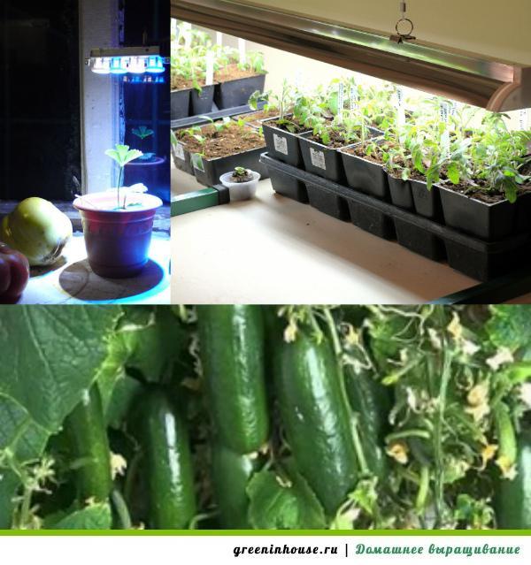 Овощи на подоконнике выращивание 92