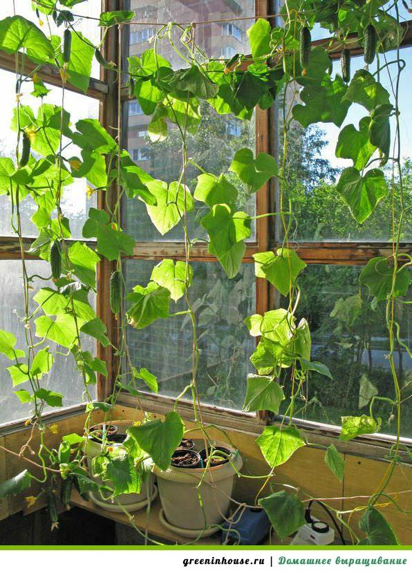 Выращивание огурцов в домашних условиях 40