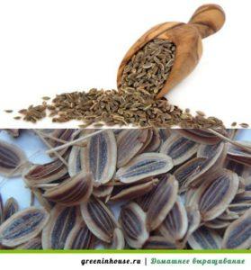 semena-ukropa