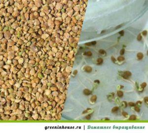 semena-shpinata