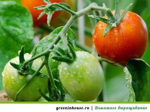 полив комнатных помидор
