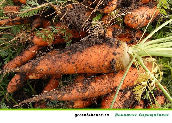 выращивание моркови дома