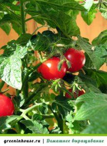 выращивание помидор пошагово